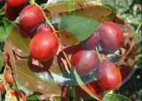 浓缩枣汁(河北沧州恩际生物)可溶性固形物Brix≥68%